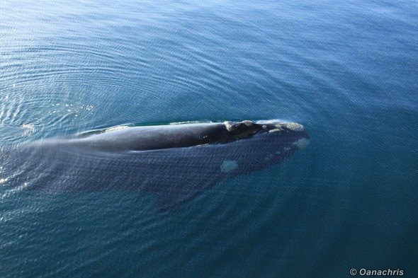 Puerto Madryn Argentina - Whale watching (18)