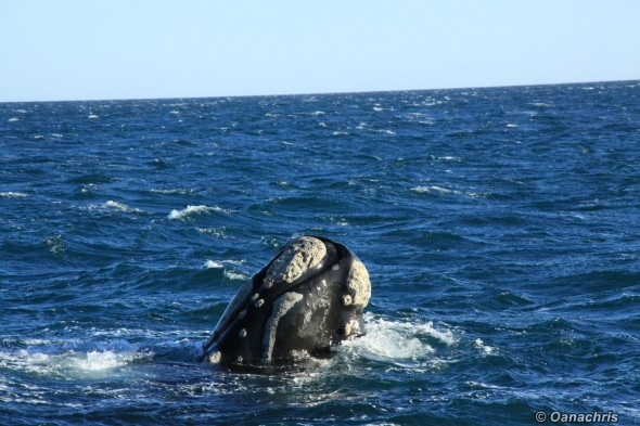 Puerto Madryn Argentina - Whale watching (21)