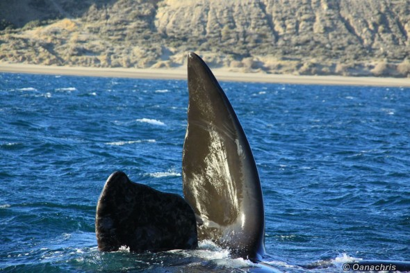 Puerto Madryn Argentina - Whale watching (22)