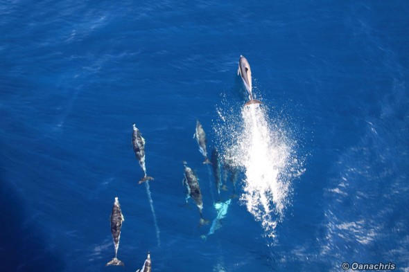 Dolphins playing with HS Bruckner