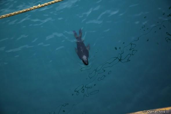 Puerto Deseado Argentina sea lion