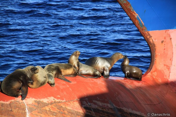 Puerto Madryn Argentina sealions on the bulb