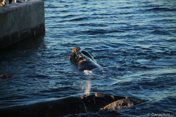 Puerto Madryn Argentina whale watching from the pier