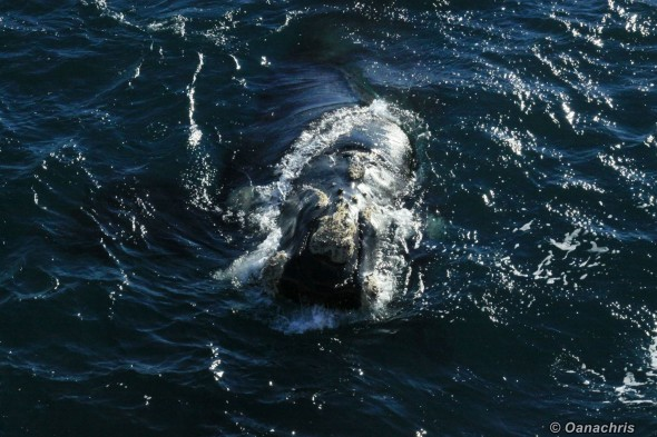 Puerto Madryn Argentina whale watching from the vessel 2