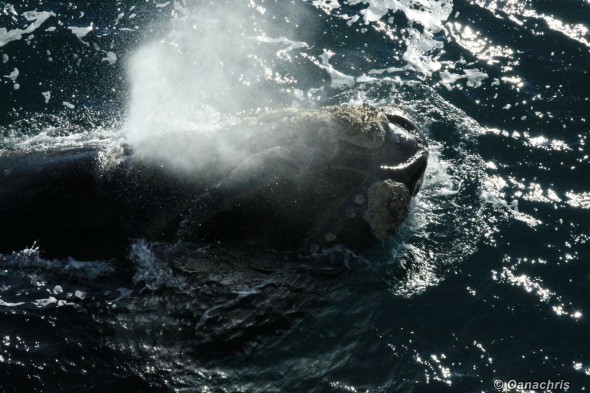 Puerto Madryn Argentina whale watching from the vessel 3