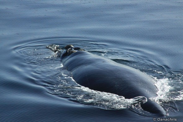 Puerto Madryn Argentina whale watching from the vessel 4