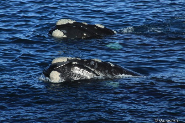 Puerto Madryn Argentina whale watching from the vessel 6