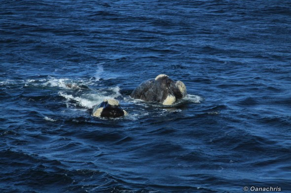 Puerto Madryn Argentina whale watching from the vessel 7