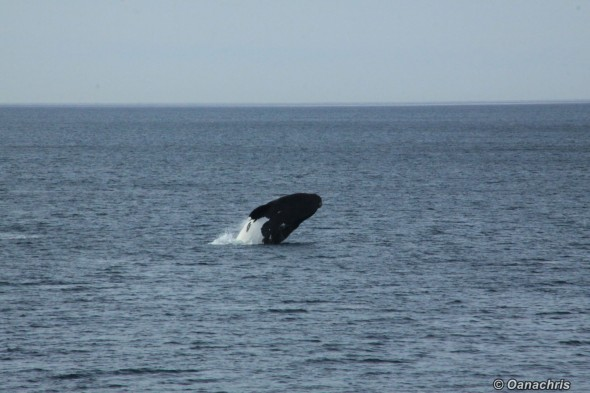 Puerto Madryn Argentina whale watching mating season