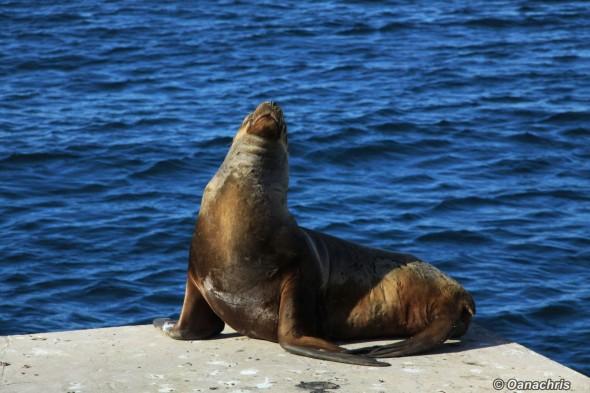 Puerto Madryn - sealion on the pier