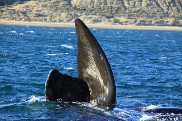 Puerto Piramides Argentina whale watching