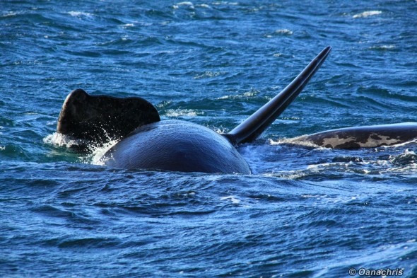 Puerto Piramides whale watching Argentina