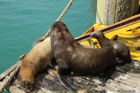 Sea lion family inside San Antonie Este Port