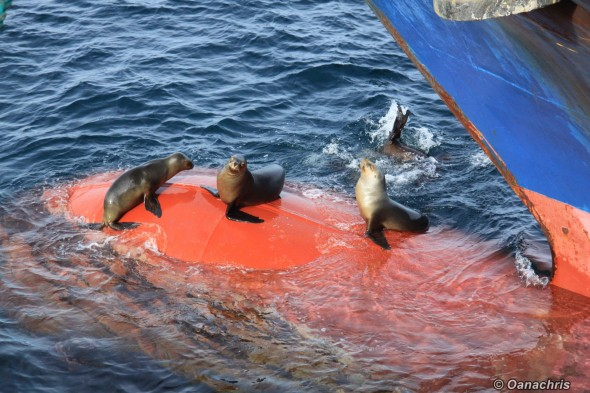 Sealions on the bulb at high tide Puerto Madryn Argentina