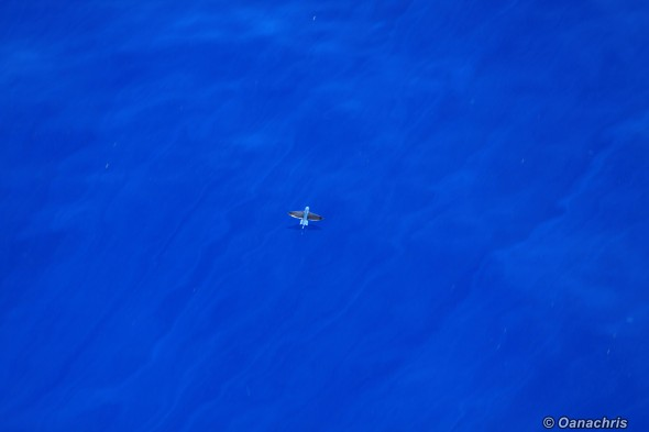 Flying fish in the Gulf of Mexico