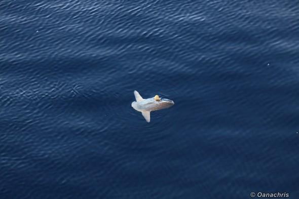 Moon fish in the Mediterannean Sea