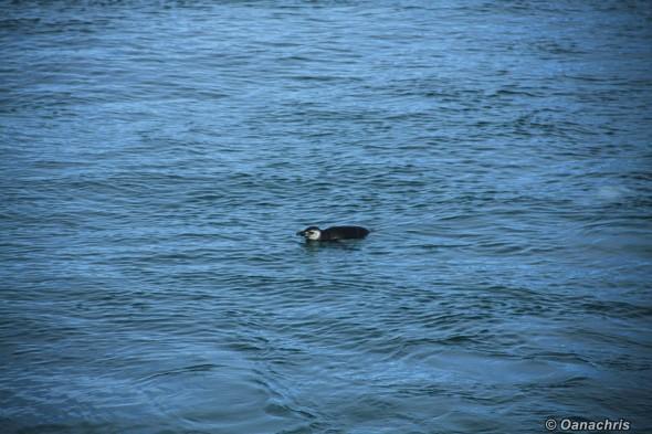 Penguin in South Atlantic Ocean