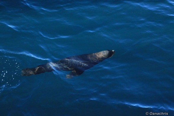 Sealion in South Atlantic