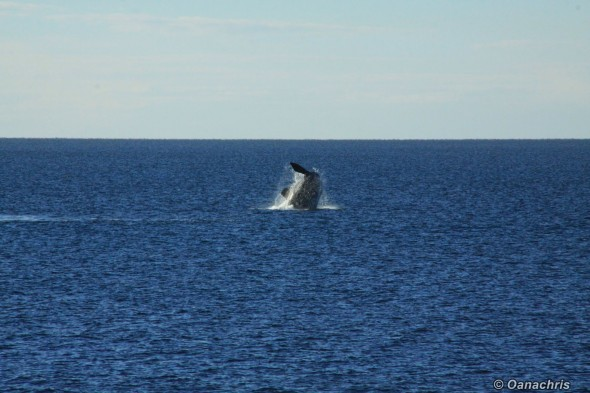 Puerto Madryn Argentina - Whale watching (10)