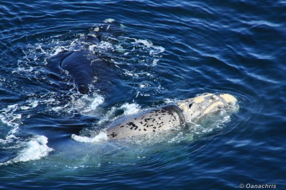 Puerto Madryn Argentina - Whale watching (12)