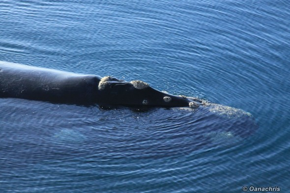 Puerto Madryn Argentina - Whale watching (17)