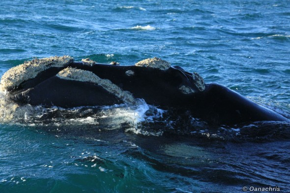 Puerto Madryn Argentina - Whale watching (24)