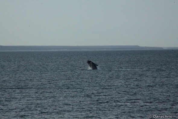 Puerto Madryn Argentina - Whale watching (25)