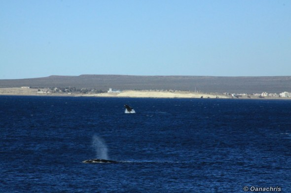 Puerto Madryn Argentina - Whale watching (29)