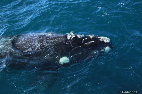 Puerto Madryn Argentina - Whale watching (33)