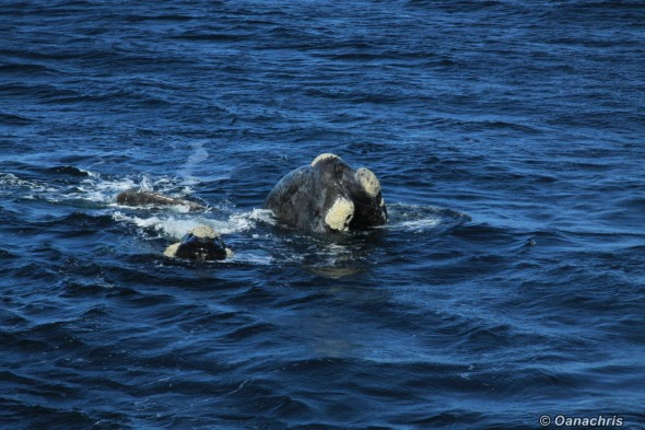 Puerto Madryn Argentina - Whale watching (34)