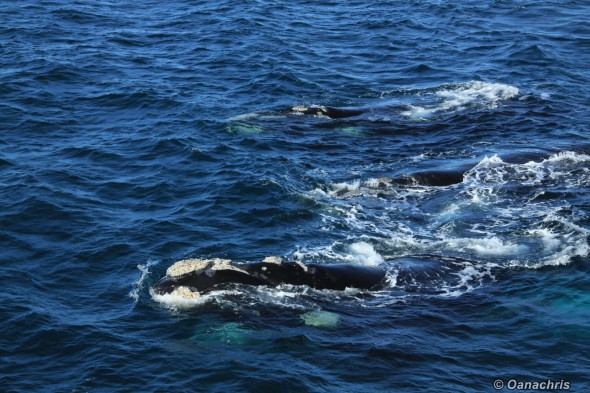Puerto Madryn Argentina - Whale watching (36)