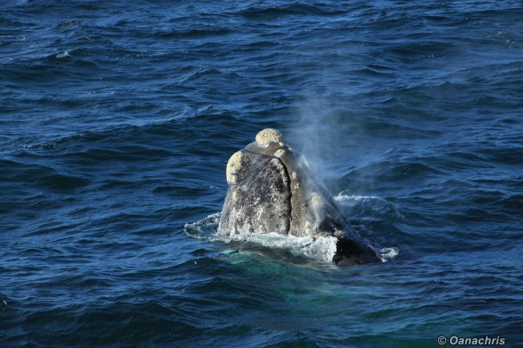 Puerto Madryn Argentina - Whale watching (37)