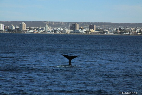Puerto Madryn Argentina - Whale watching (43)
