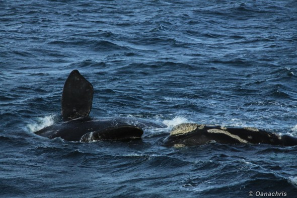 Puerto Madryn Argentina - Whale watching (45)