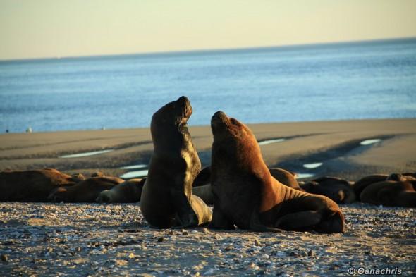 San Antonio Este, sea lions (14)