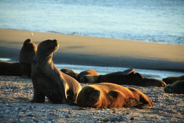 San Antonio Este, sea lions (15)