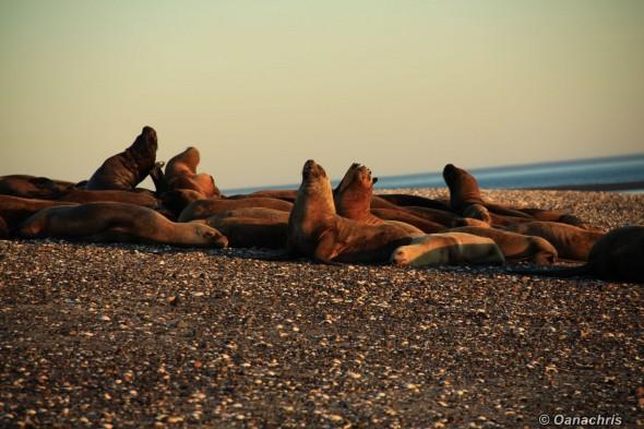 San Antonio Este, sea lions (16)