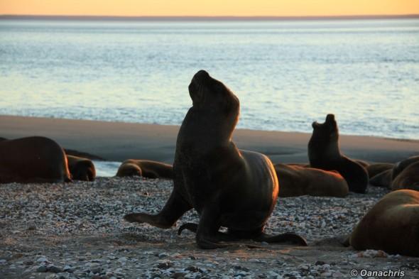 San Antonio Este, sea lions (18)