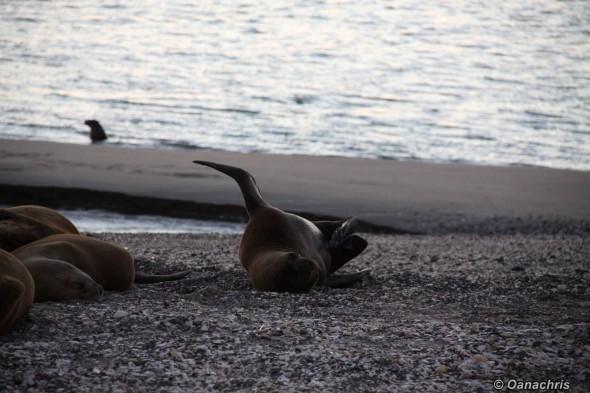 San Antonio Este, sea lions (20)