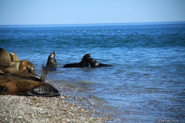 San Antonio Este, sea lions (26)