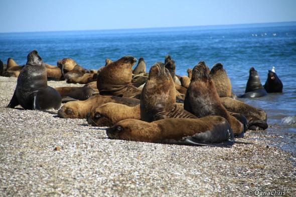 San Antonio Este, sea lions (27)