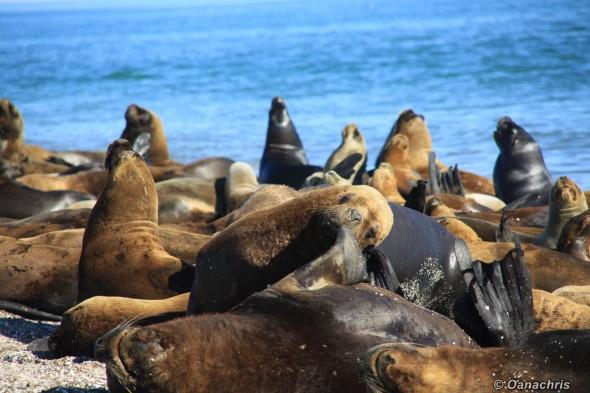 San Antonio Este, sea lions (29)