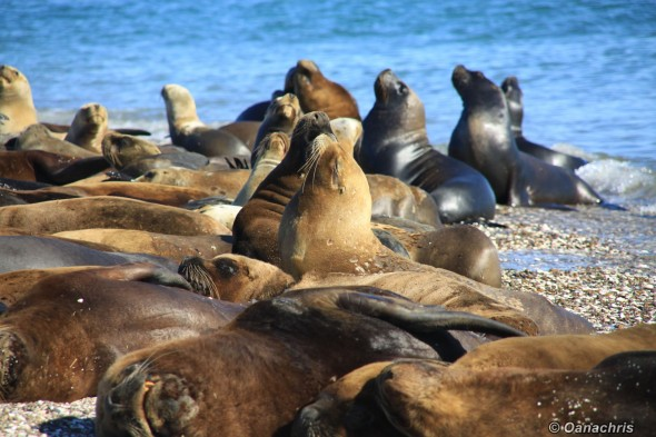 San Antonio Este, sea lions (31)