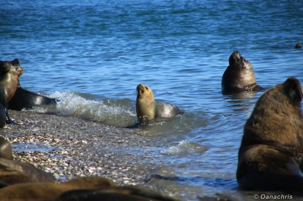 San Antonio Este, sea lions (32)