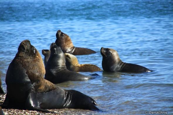 San Antonio Este, sea lions (34)