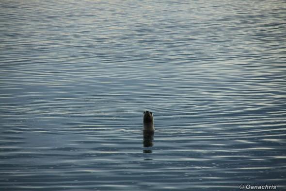San Antonio Este, sea lions (36)