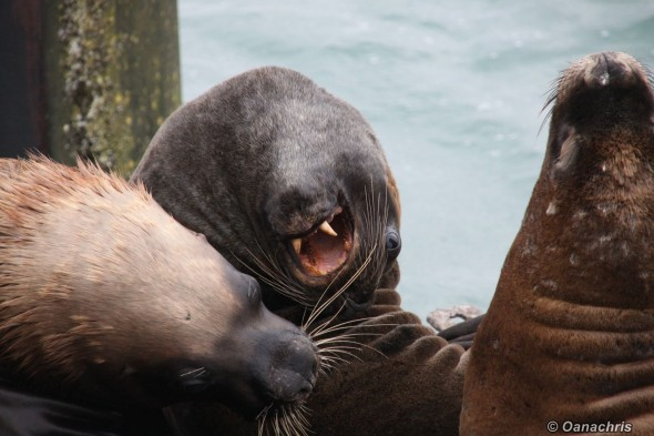 San Antonio Este, sea lions (37)
