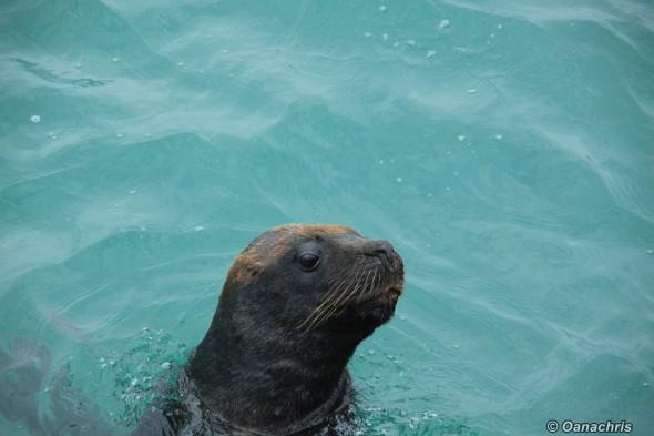San Antonio Este, sea lions (39)