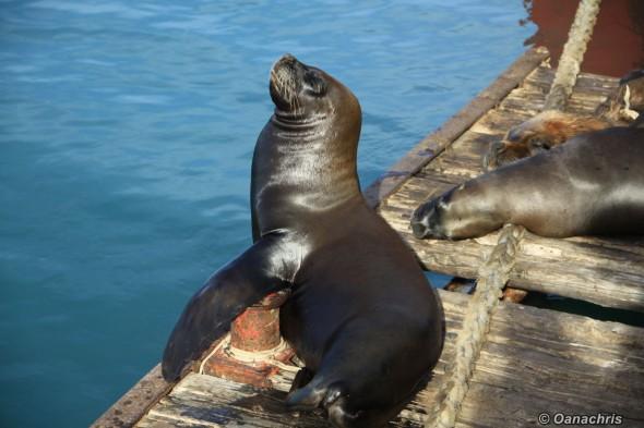 San Antonio Este, sea lions (4)