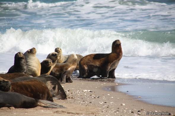 San Antonio Este, sea lions (41)
